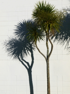cabbage tree shadow v