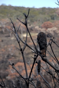 burnt banksia close scaled