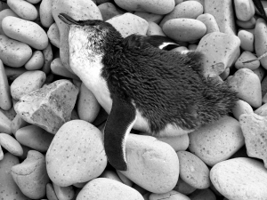 beach blue penguin dead