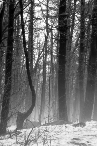 mist forest bw