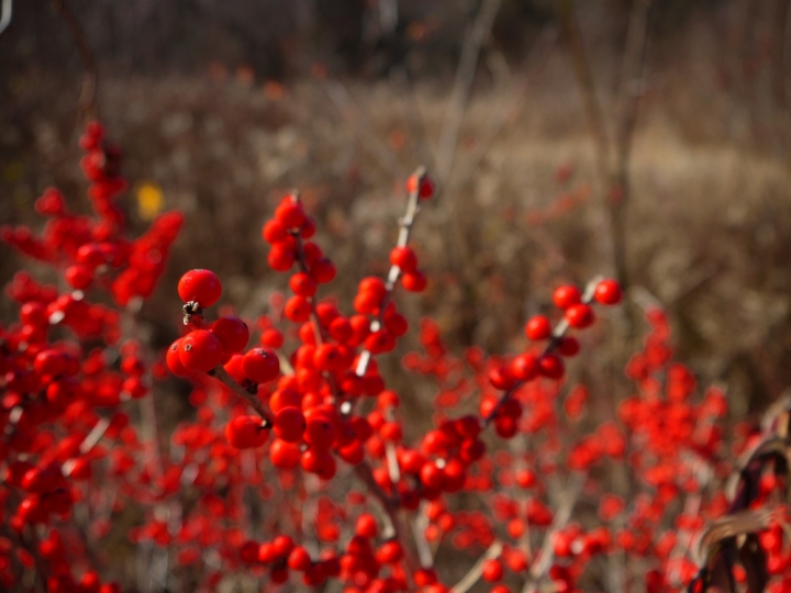 red berries close