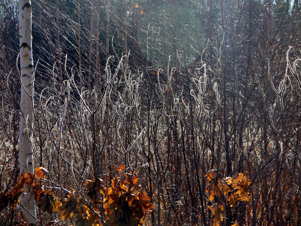 sunlit branches h