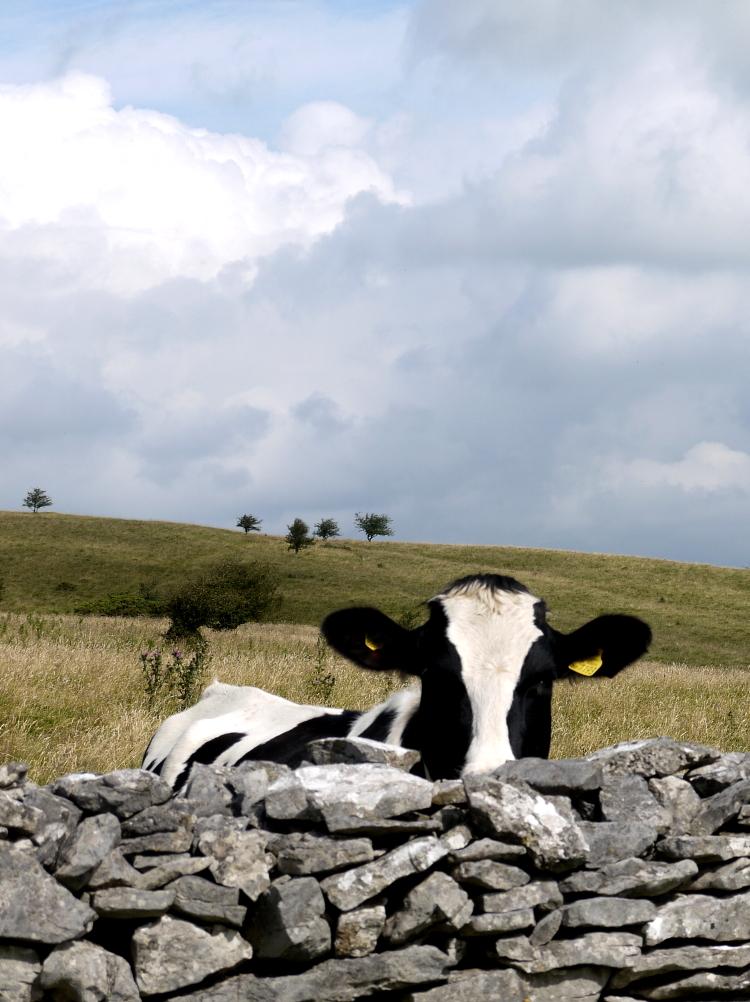 cow wall peeking