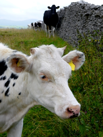 white cow speckled 1