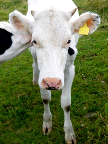 white cow standing