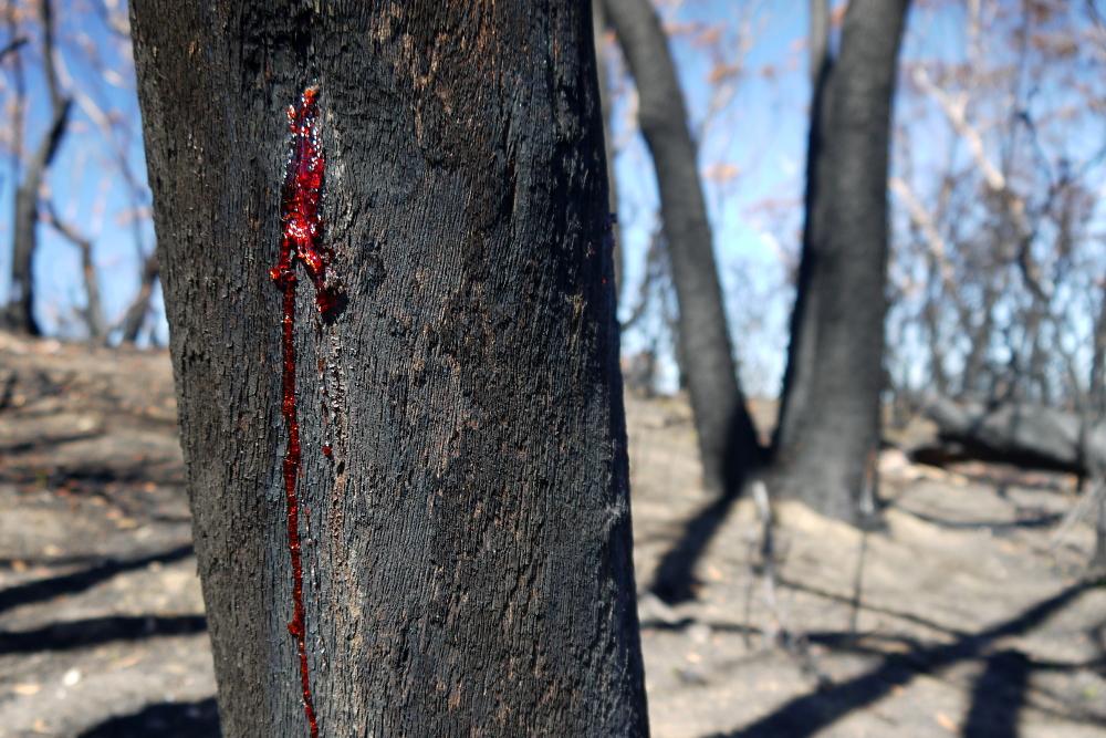 trunk red sap close