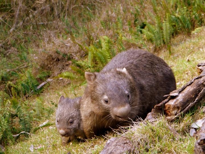 wombat and baby 1.JPG
